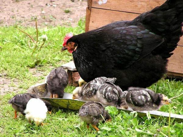 Московская черная курица