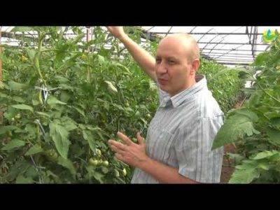 Если томаты жируют, они теряют в урожае