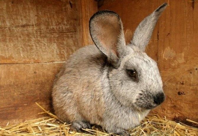 У кролика мокрая мордочка: причины, симптомы, чем лечить стоматит (мокрицу)