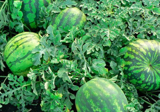 Что такое тыква: овощ, ягода или фрукт