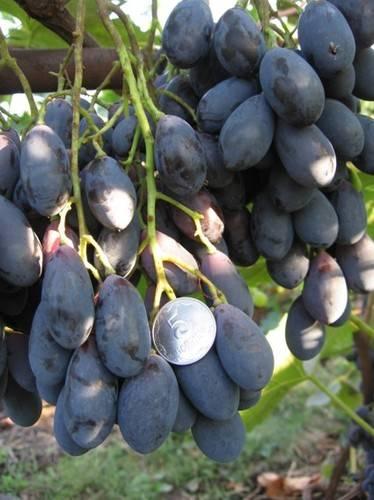 Сорт винограда блэк гранд - мыдачники