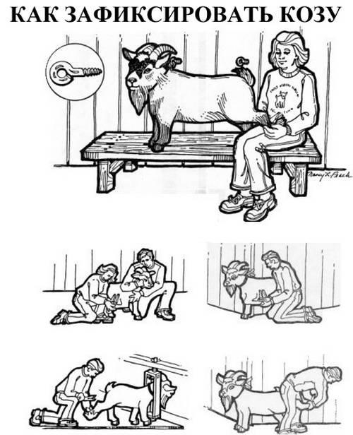 Обрезка копыт у коз: как правильно