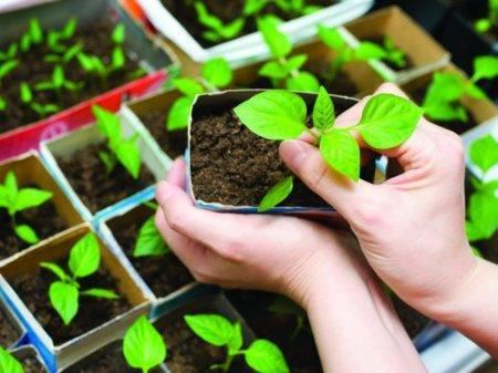 """Когда лучше сажать перец на рассаду: посадка и выращивание от """"а"""" до """"я"""" – 4 сезона огородника"""