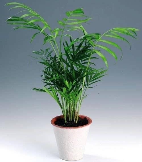 Пальмы, разнообразие видов. выращивание в домашних условиях. фото — ботаничка.ru