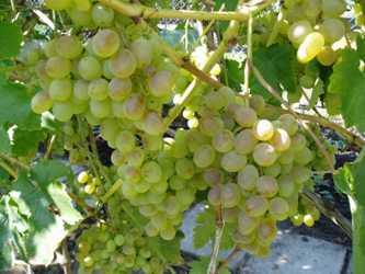 Виноград восторг: описание сорта, отзывы, фото