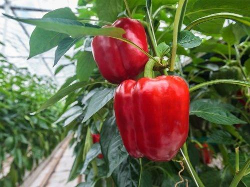 Перец купец: описание, характеристика и урожайность, вкусовые качества сорта, фото