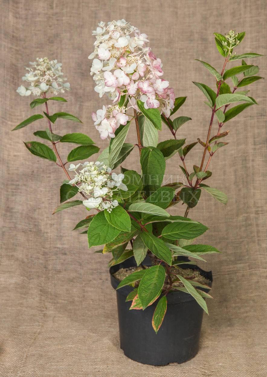 Гортензия метельчатая даймонд пинк и руж ( фото и описание): уход и посадка, зимостойкость растения