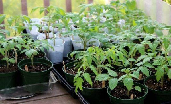 Что делать, если у кустов томатов белеют листья: полезные советы