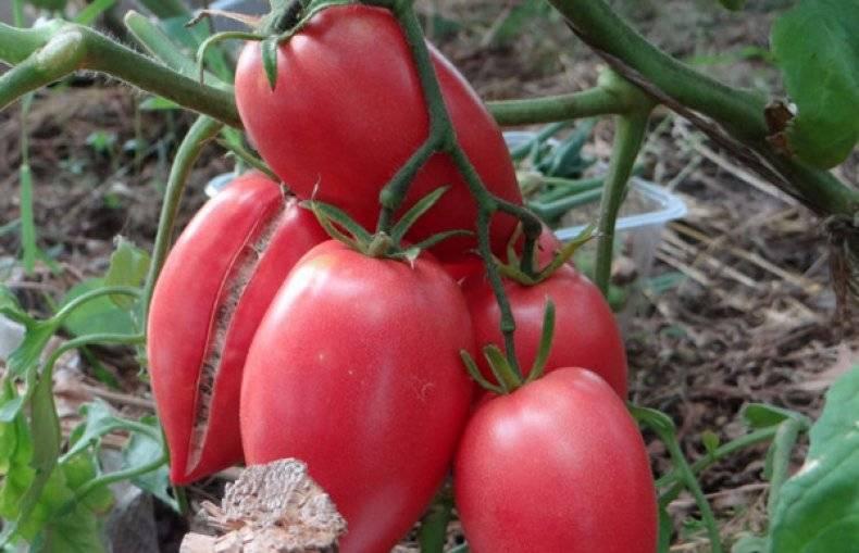 """Томат """"кенигсберг"""": характеристика и описание сорта, урожайность, рекомендации по выращиванию помидор и фото русский фермер"""