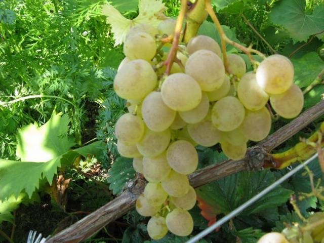 Описание винограда надежда азос — что это за разновидность?