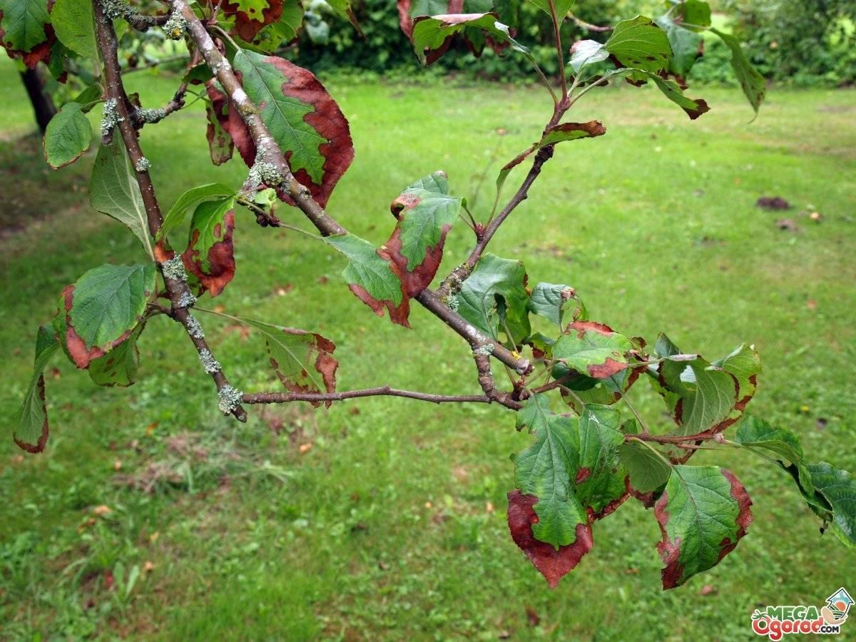 Болезни яблонь: первые признаки, причины и лечение