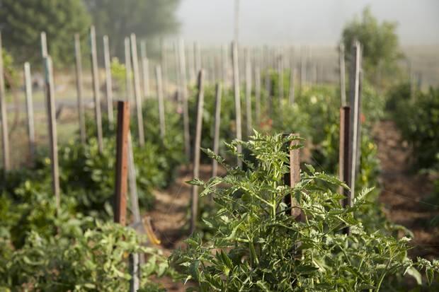 Как правильно подвязывать помидоры в теплице и открытом грунте?