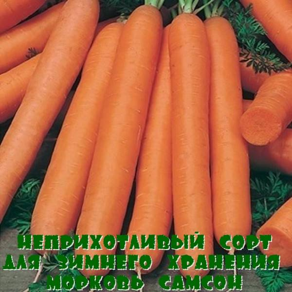 Морковь «самсон»: достоинства сорта, описание с фото, отзывы