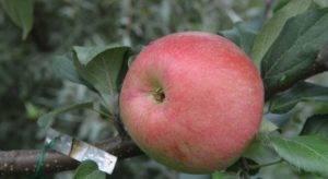 Яблоня «хани крисп»: описание сорта, фото и отзывы