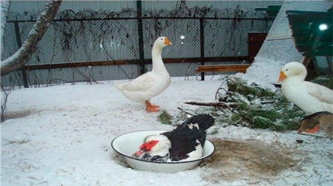 Как содержать индоуток зимой: полезные советы - jurnalagronoma