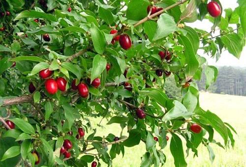 Как вырастить кизил в своем саду: правильная посадка и особенности ухода