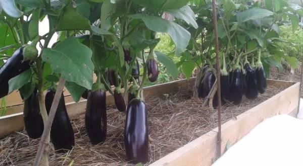 Посев семян перца и баклажан на рассаду: как и когда сажать, примерные сроки, подготовка семян и состав почвы, уход за побегами русский фермер