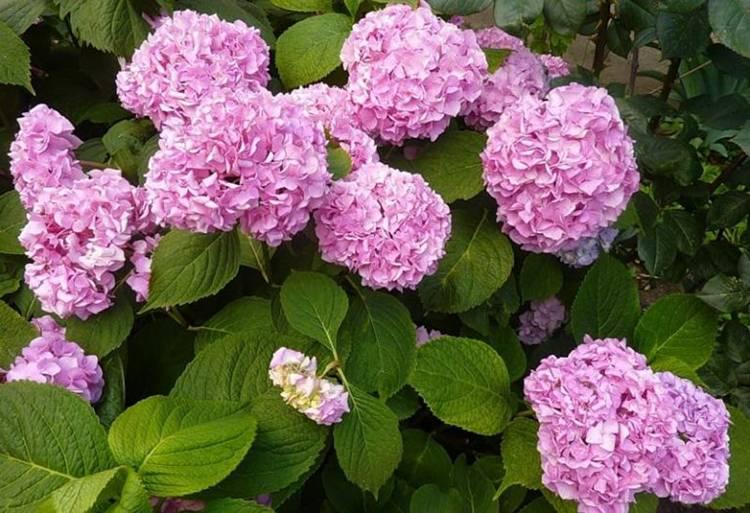 Калина: как правильно посадить, ухаживать и обрезать кустарник