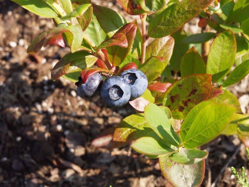 Почему у голубики краснеют листья летом: причины и методы их устранения