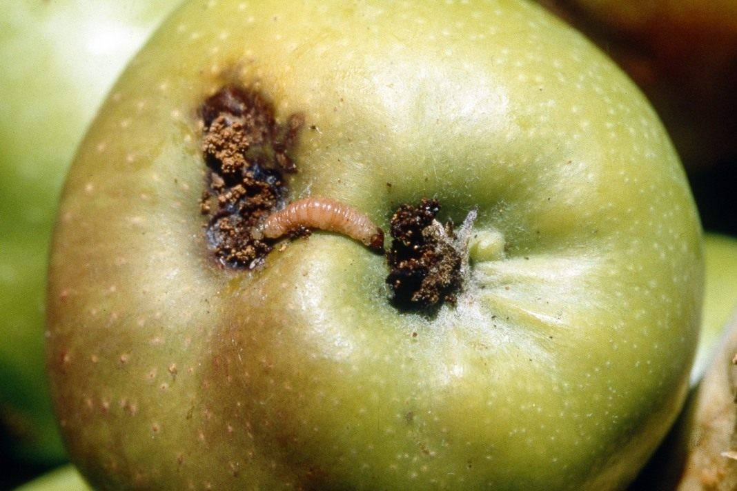 Яблонная плодожорка: как бороться