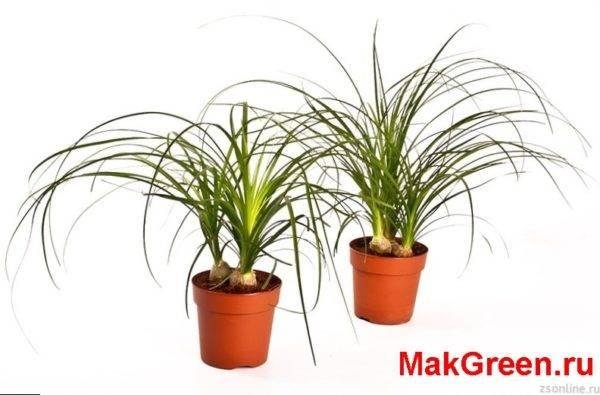 Как выращивать в домашних условиях нолину или бутылочное дерево