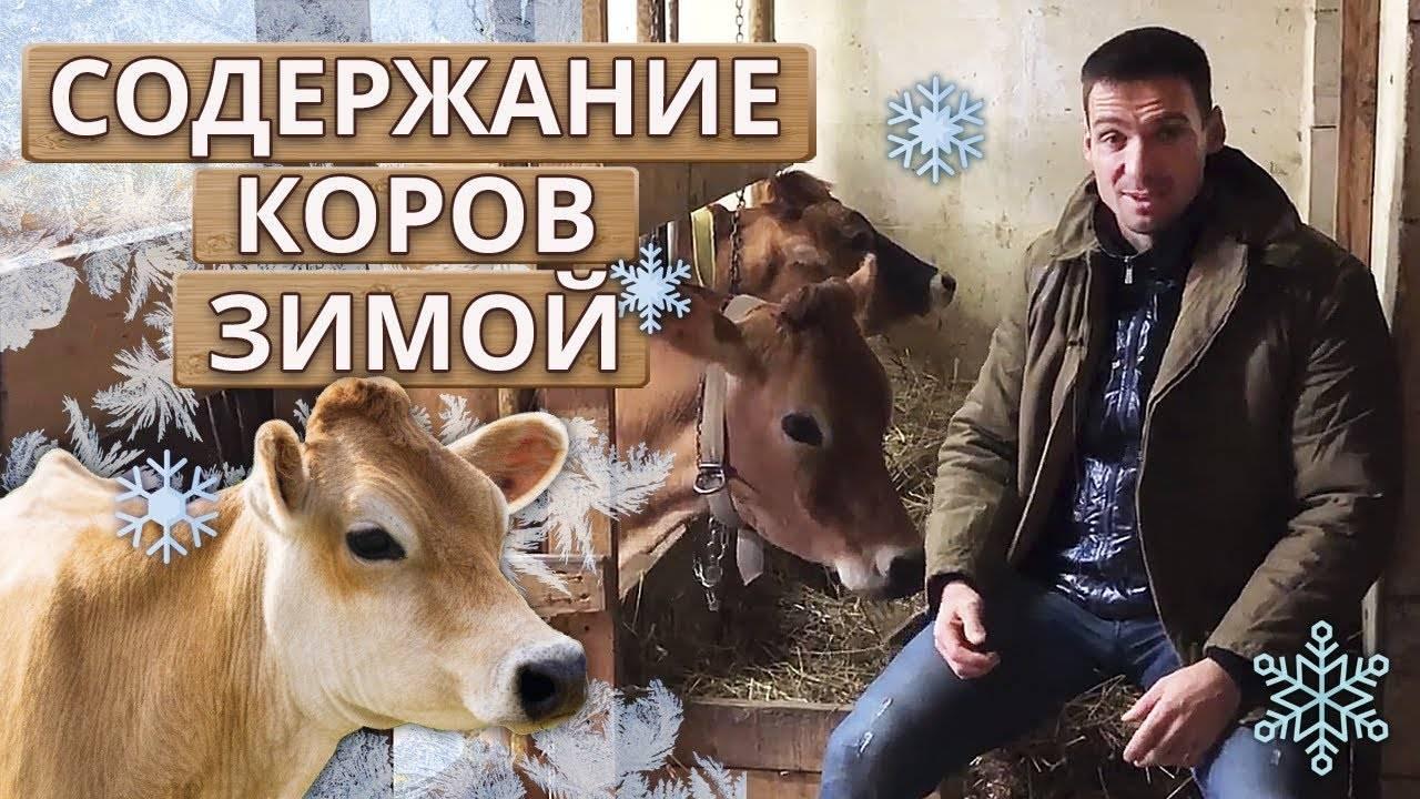 Породы коров: молочные, мясные, мясо-молочные