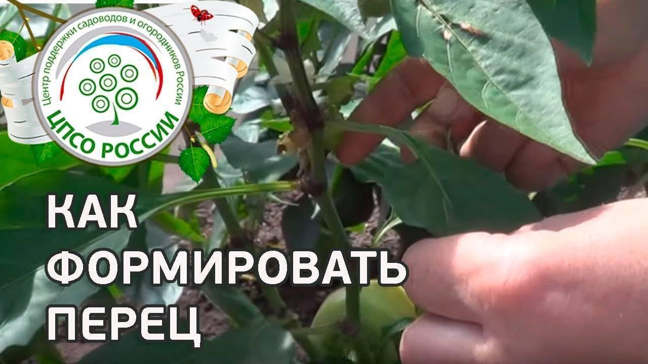 Выращивание перца в теплице из поликарбоната: посадка, уход, лучшие сорта