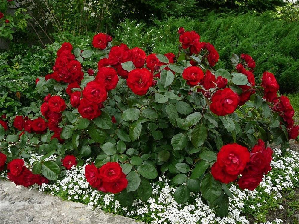Полиантовая роза: что это такое, как выращивать из семян, уход за розовыми кустами