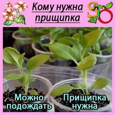 Как прищипывать петунию? 19 фото пошаговое прищипывание петунии, чтобы она была пышной и шикарно цвела. как нужно прищипывать ее для обильного цветения?