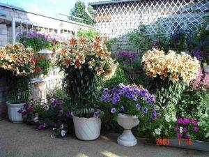 Комнатная лилия: уход в домашних условиях и классификация, приобретение домашней лилии, посадка