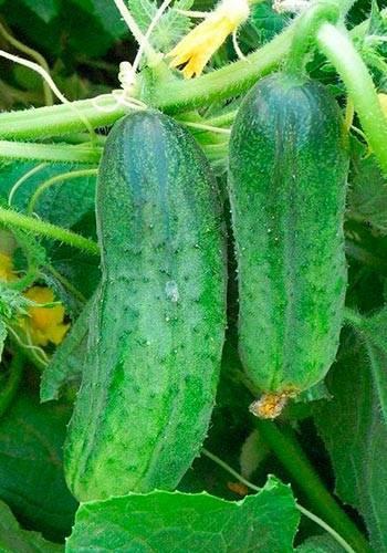 О. ганичкина: посадка и выращивание огурцов