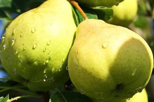 Сорт груши киффер (сеянец киффера). описание, фото, отзывы