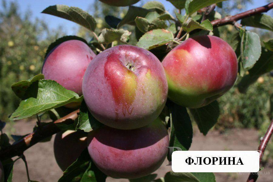 Яблоня флорина: фото и описание сорта, отзывы