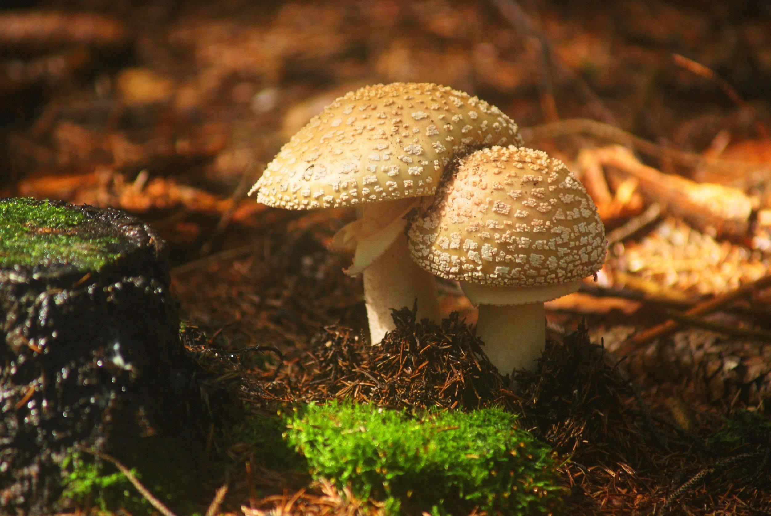 Черный мухомор или поплавок: фото и описание гриба