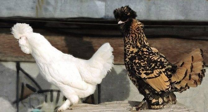 Русская павловская курица — самая красивая в мире