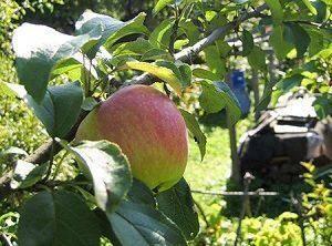 """Яблоня """"услада"""": описание сорта, фото, отзывы"""