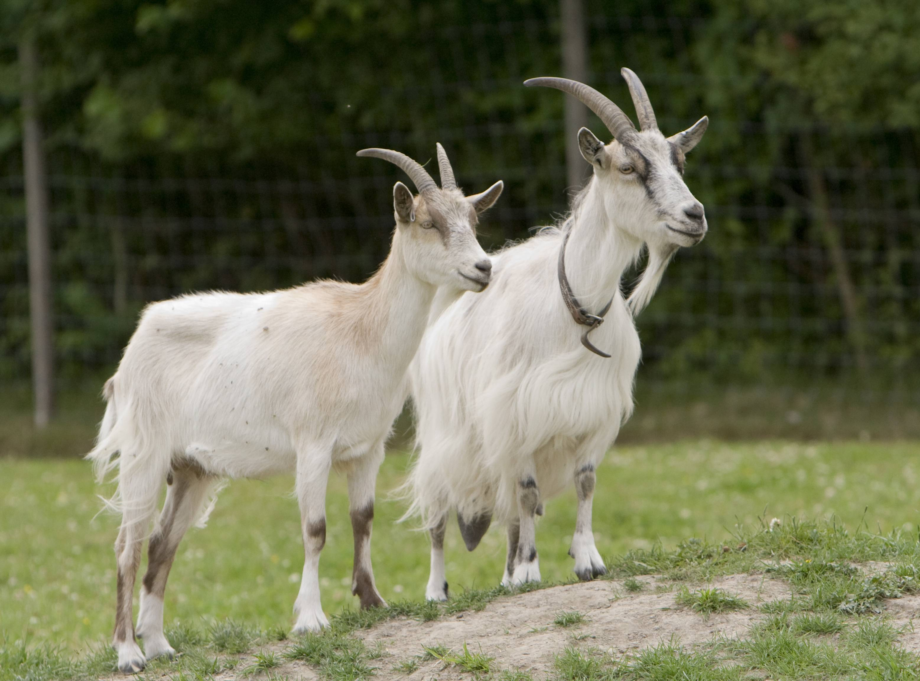 Учимся правильно доить козу