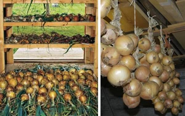 Как хранить лук зимой в погребе, квартире или холодильнике