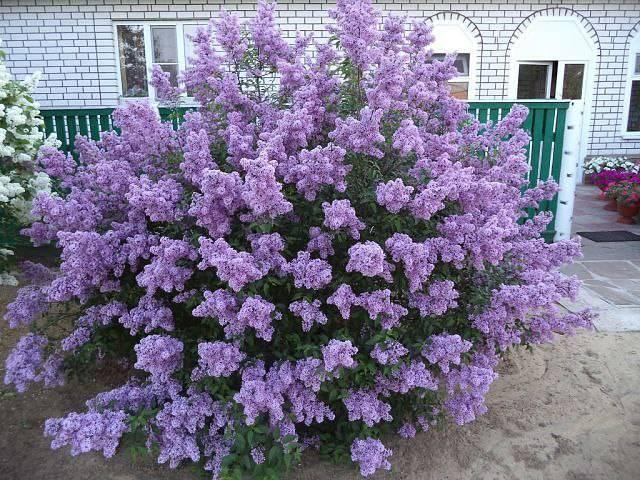 Украшение сада — карликовая персидская сирень