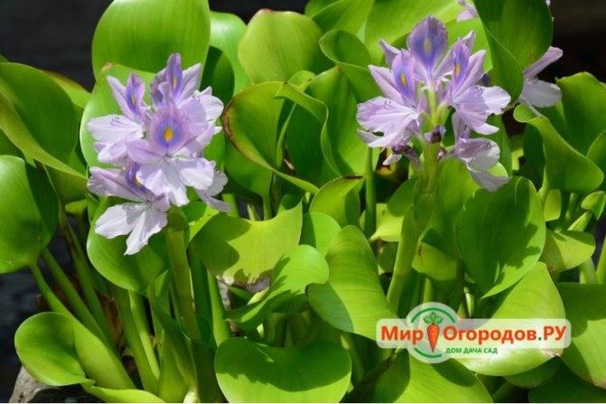 Водный гиацинт: описание и выращивание в домашних условиях