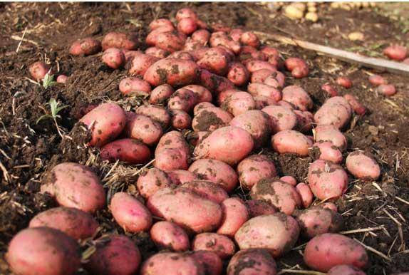 Картофель лабелла: описание сорта с фото, особенности выращивания, отзывы