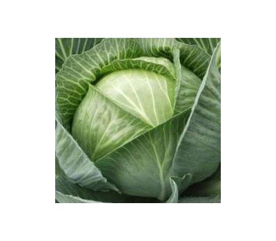 Сорт капусты колобок, описание, характеристика и отзывы, а также особенности выращивания