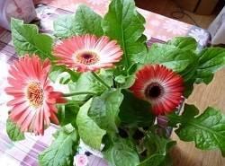 Гербера: выращивание из семян в домашних условиях