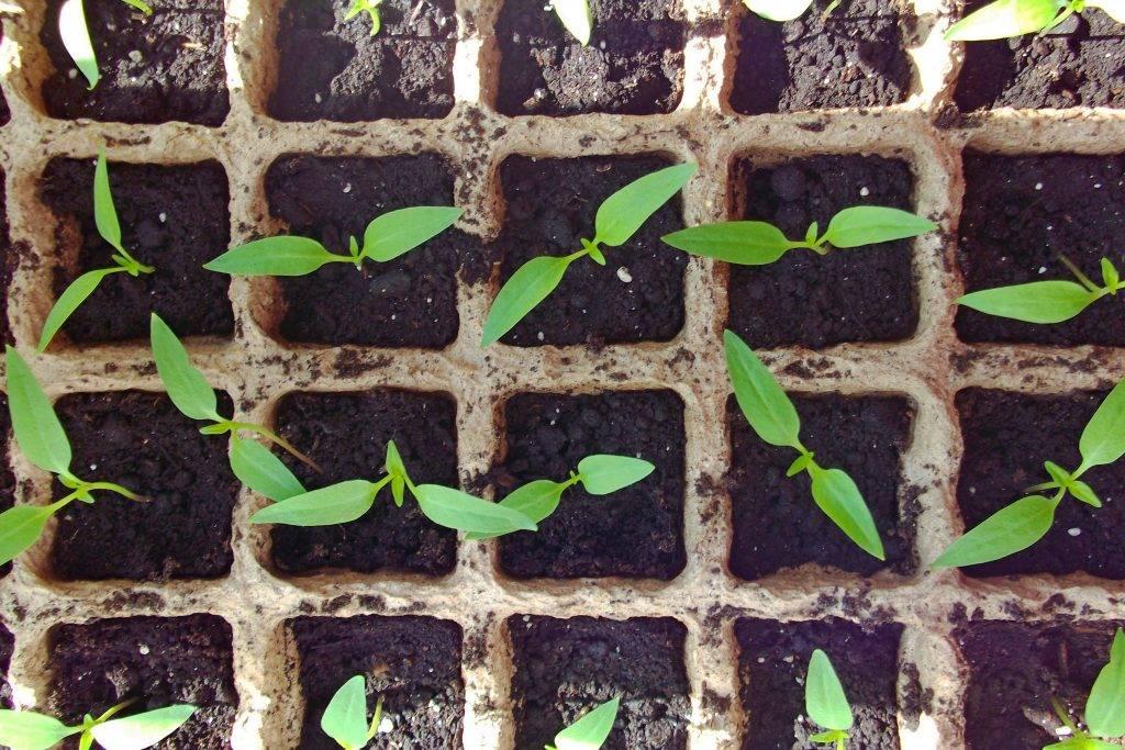 Технология замачивания и проращивания семян кабачков перед посадкой