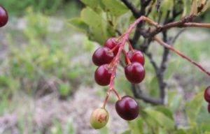 О вишне бессея: описание и характеристики сорта, уход и выращивание
