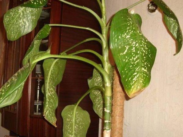 Диффенбахия: что делать, если желтеют и сохнут листья, причины, уход и размножение диффенбахии