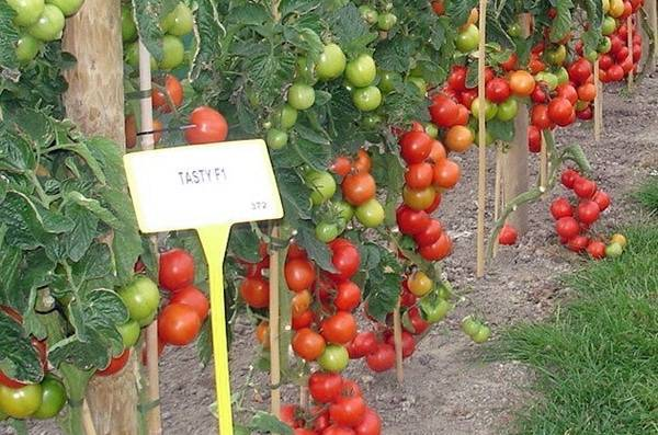 Томат верочка f1: описание раннего перспективного сорта, особенности выращивания и ухода