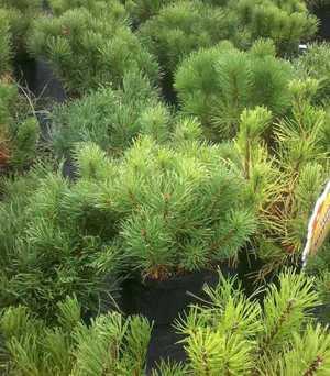 Сосна горная пумилио (pinus mugo pumilio): описание, посадка и уход, отзывы