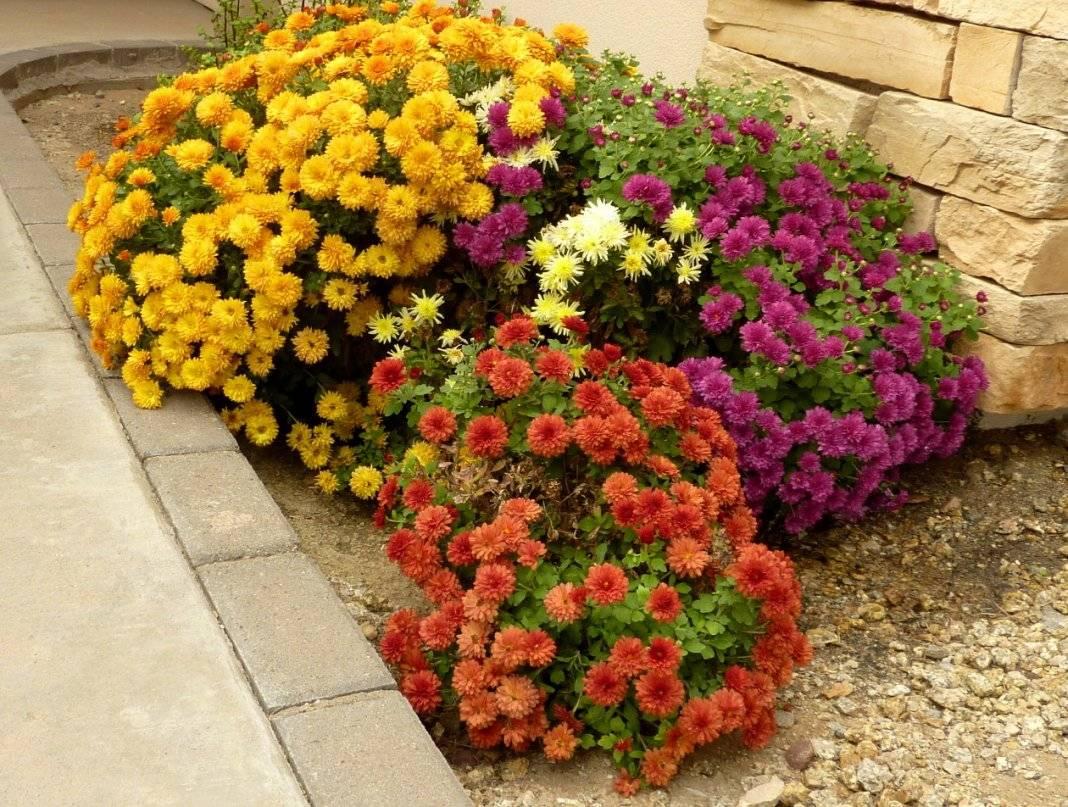 Хризантемы в саду: особенности выращивания в открытом грунте - sadovnikam.ru
