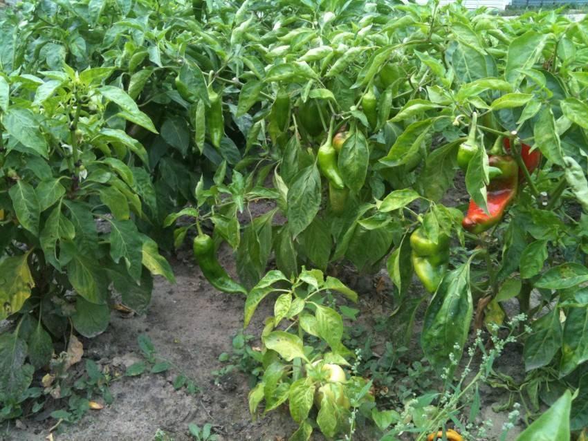 Пасынкование перцев в теплице схема